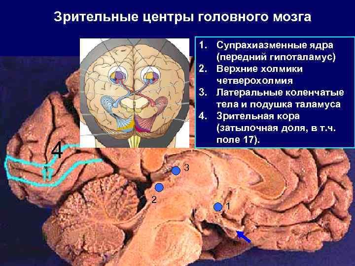 Зрительные центры головного мозга