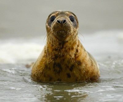 Release seals into the wild at the Wadden Sea, the Netherlands