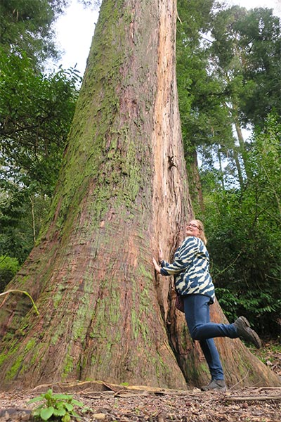 Bussaco Forest Portugal - hugging the tallest tree