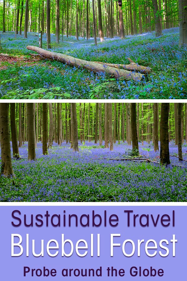 two pictures of the bluebell forest in Hallerbos Belgium with text overlay saying Sustainable travel Bluebell Forest Probe around the Globe