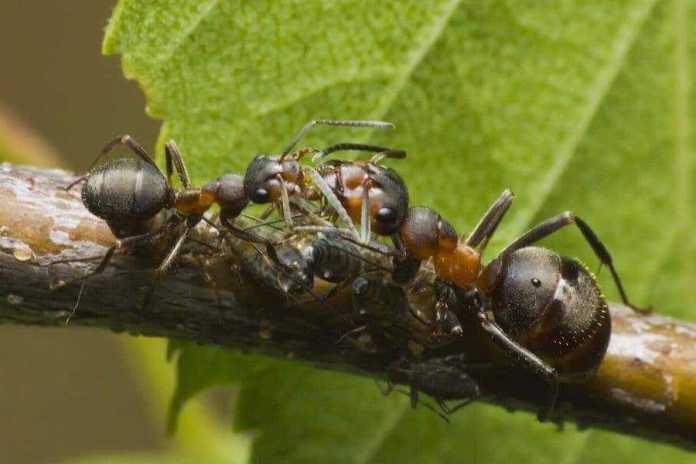 Амазонские муравьи