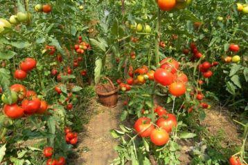 Cultivatorii de tomate pot depune cererile de ajutor de minimis pana pe 20 martie 2019