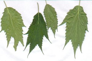 Everything-you-ever-needed-to-know-about-cannabis-leaves-5-Ducksfoot-Cannabis-www.420genetics.com_