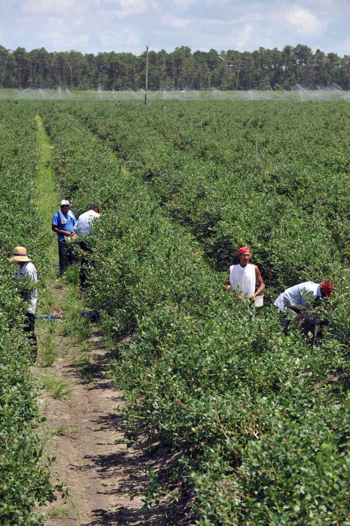 Blueberry pickers in Hammonton, NJ. The speed and stress of the blueberry harvest has caused federal investigators to fine dozens of farms in southern New Jersey for labor violations.