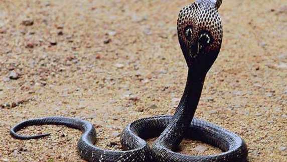 Cobra Naja Naja