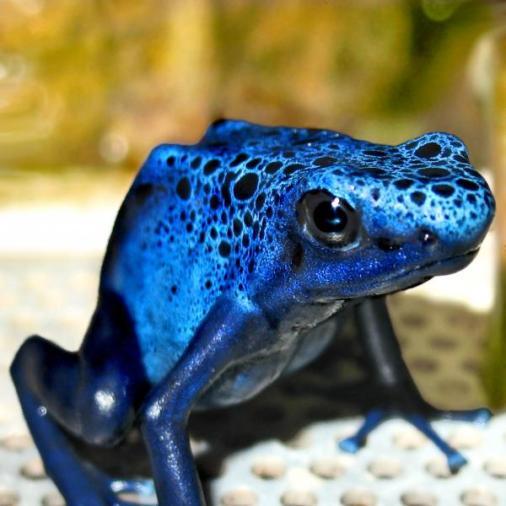 Rana azul.