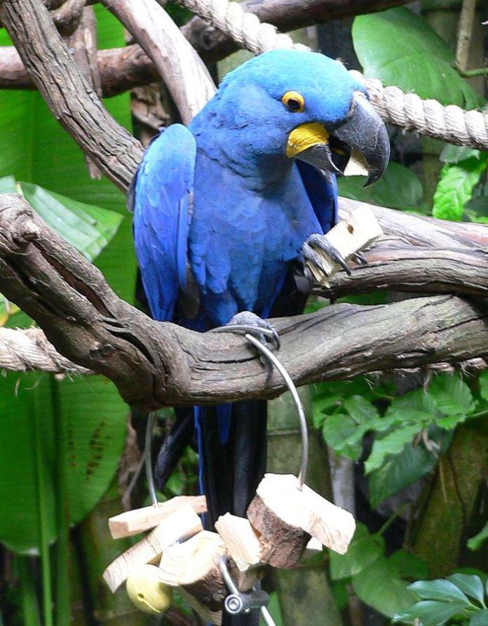 guacamaya azul