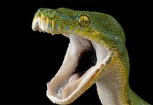 serpiente venenosa o no? aprende a identificarla