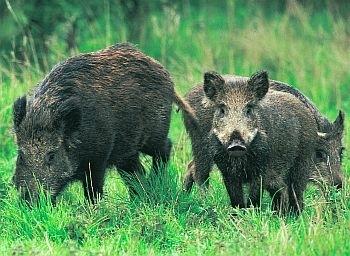 Boar hunting binoculars