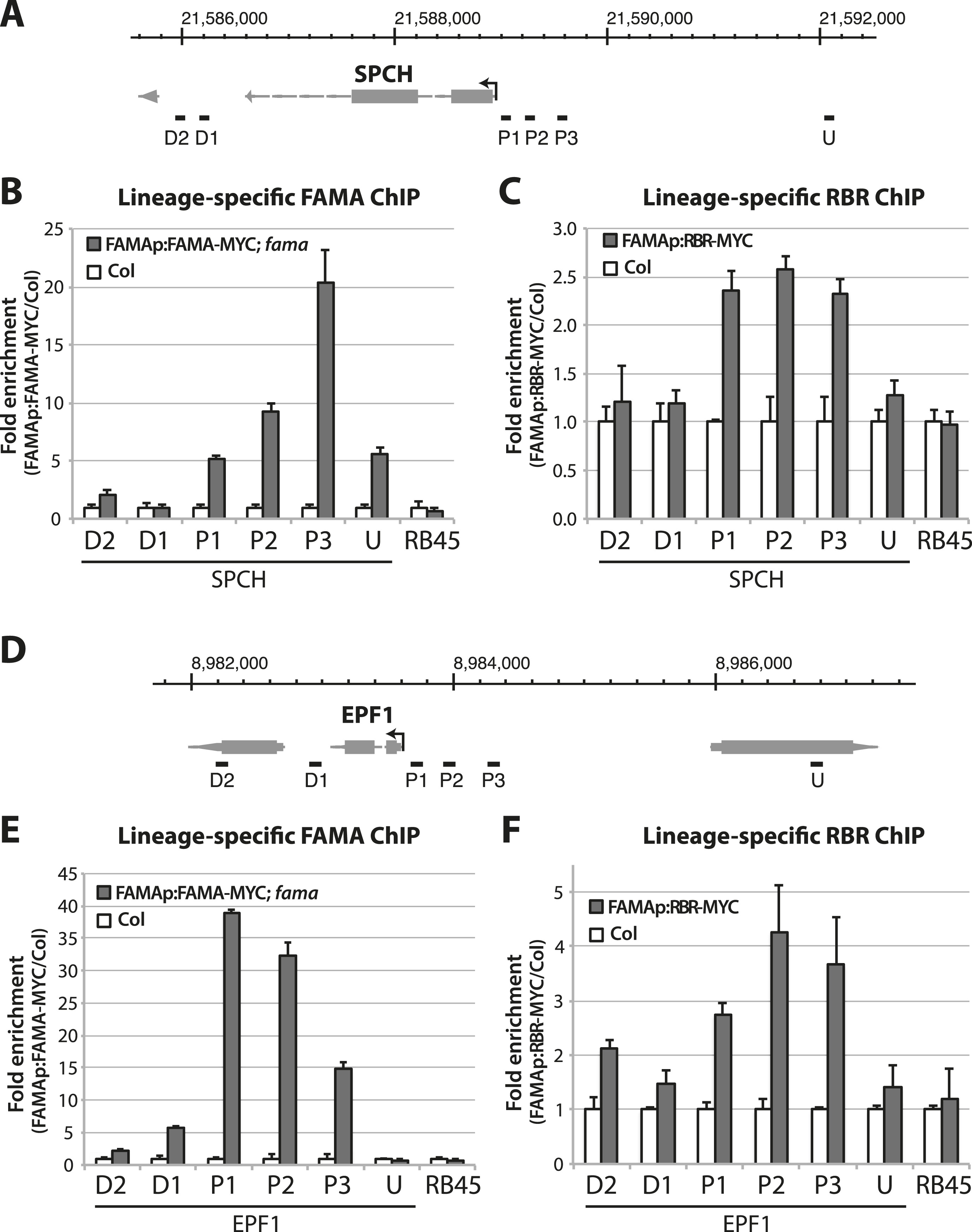 Irreversible fate commitment in the Arabidopsis stomatal