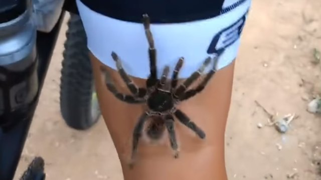 Massive Tarantula Climbs Up A Cyclists Leg During A Trail Ride In Brazil
