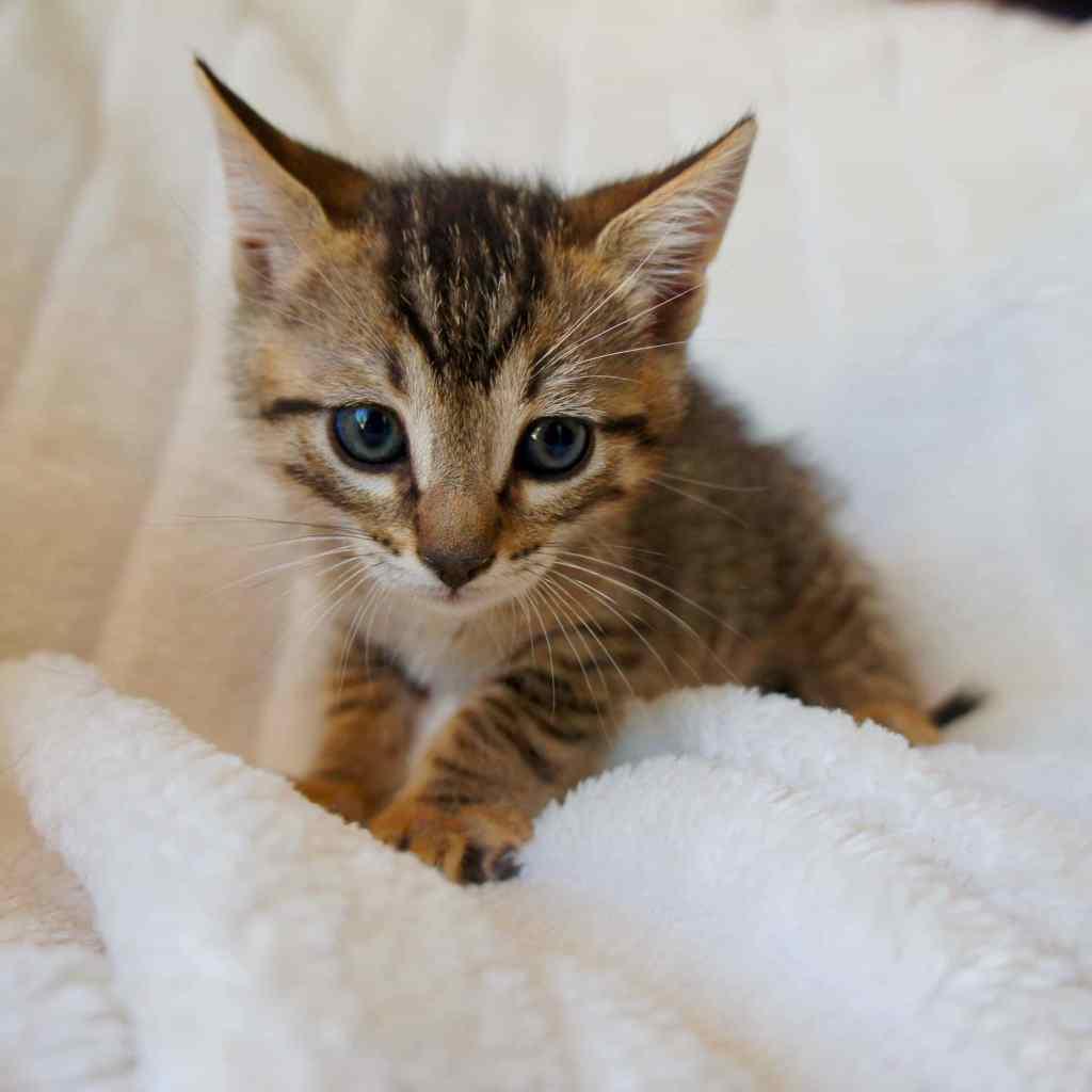 Tigreton gato pardo cachorro en adopción