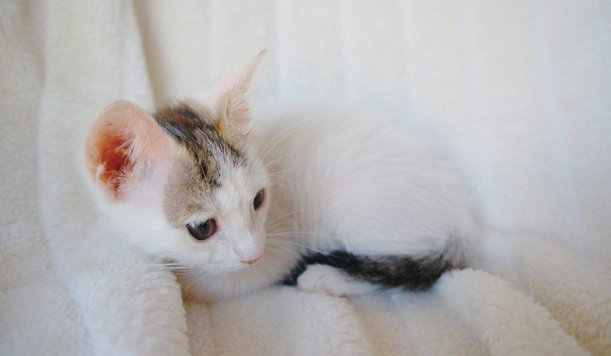 Queca gata en adopción PRODA Vinaros Castellon
