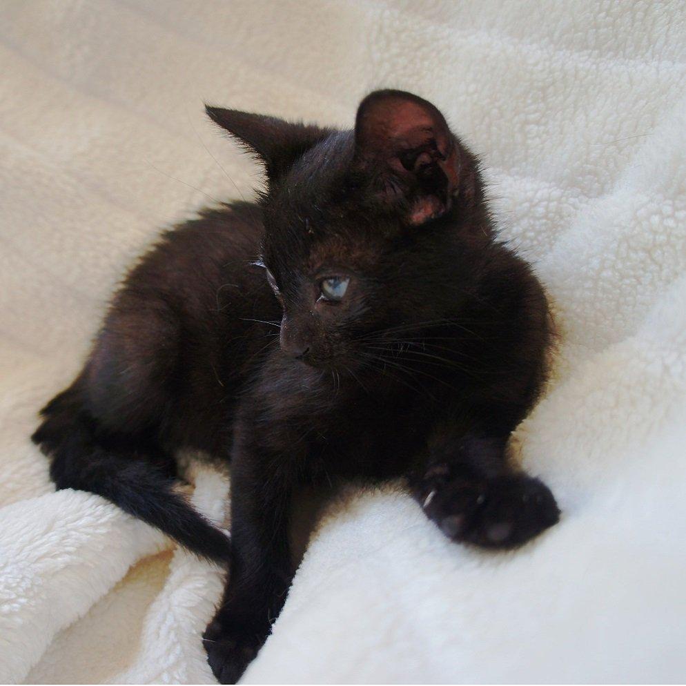 Nana gata negra en adopción en PRODA Vinaros