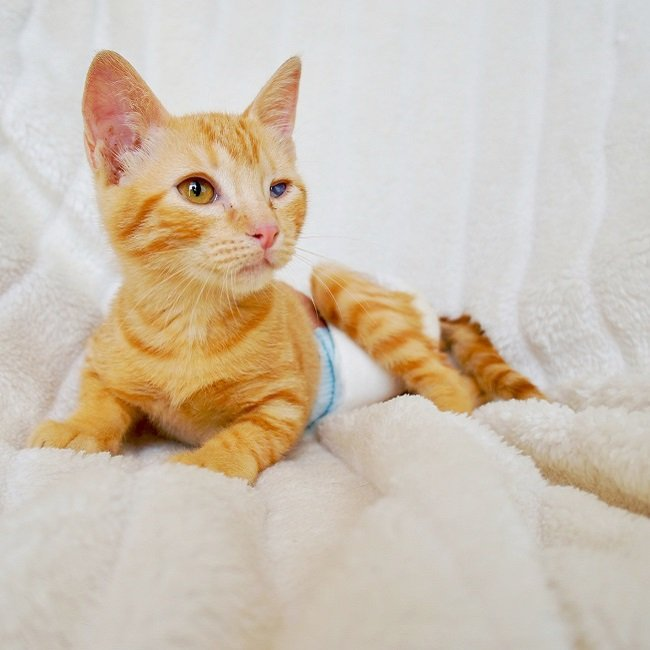 Adoptar a Quasimodo gato pelirrojo naranja en adopción PRODA Vinaros