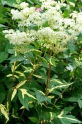 """Сорт """"Ауреавариегата"""" (""""Aureovariegata"""") - имеет листья с золотистыми полосами и пятнами неправильной формы. Высота растения около 1 м. Соцветия кремовые."""