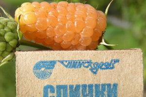 продажа малины Оранжевое Чудо