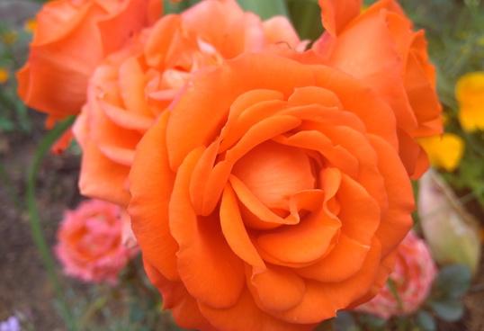 купить розу патио