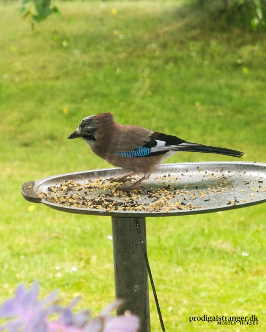The Eurasian Jay is a rare guest in gardens but don't tell him that.