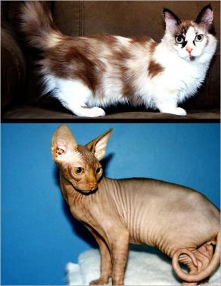 Munchkin Sphynx Cat : munchkin, sphynx, UNUSUAL, BREEDS:, Munchkin, Sphynx, Terry, Shawson, (eBook), Barnes, Noble®