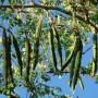 moringa-oleifera-tree
