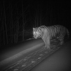 27A10B1C00000578-3041778-This_shot_was_captured_at_night_as_a_Siberian_Tiger_walked_down_-a-49_1429195664543