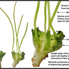 Life Cycle Of A Labeled Moss Diagram Detailed Skeleton Briofitos (reino Metaphyta) | Profedebioantoniaherrera