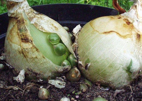 Лечение суставов настойками китайского лука эффективные рецепты