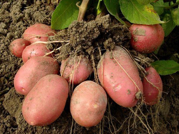 Какую минусовую температуру выдерживает картофель