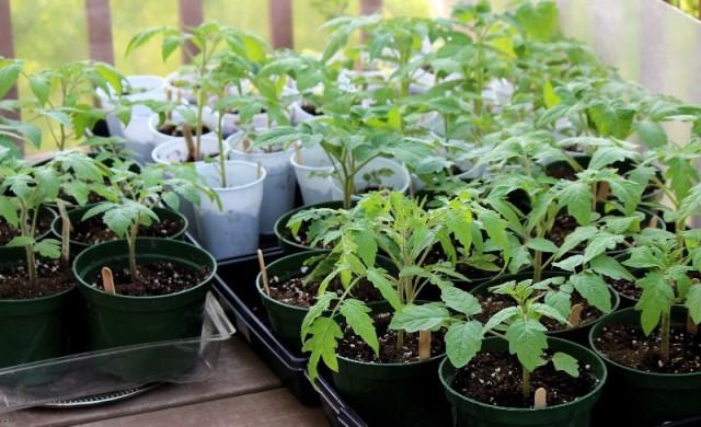 Бледные листья у рассады томатов. Эффективная защита рассады помидор