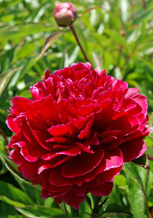 Orange Fall Peonies Wallpaper Paeonia Red Sarah Bernhardt De Vroomen Garden Products
