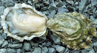live american oyster makanan laut yang sedap