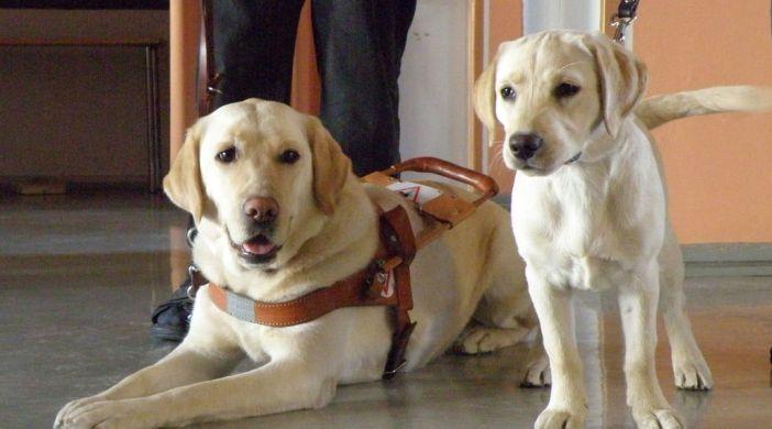 Blindenführhund und Welpe Ausbildung