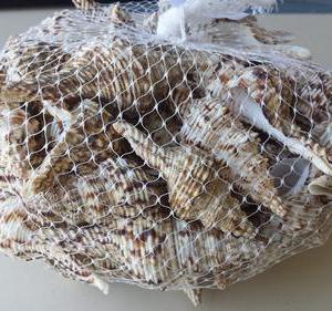 Fusinus Nicobarios 7-13cm 1kg