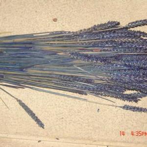 Espigas trigo azul escuro