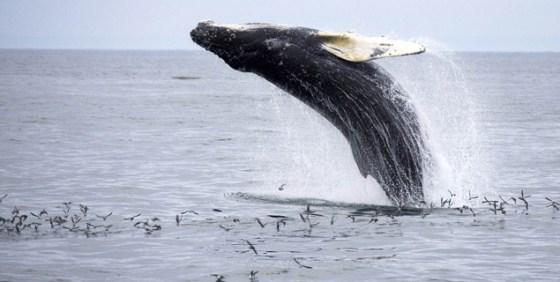 baleine-saut