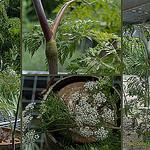 Chaerophyllum_bulbosum
