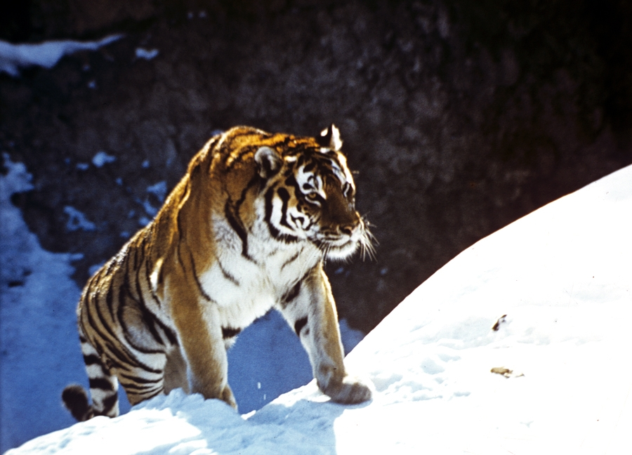 The programme to research the Amur tiger in Russia's Far East is an independent project which is carried out as part of the research being done by the expedition of the Russian Academy of Sciences on animals that have been placed on the Russian Federation's Red List of Threatened Species and other particularly important species of animals in Russia.