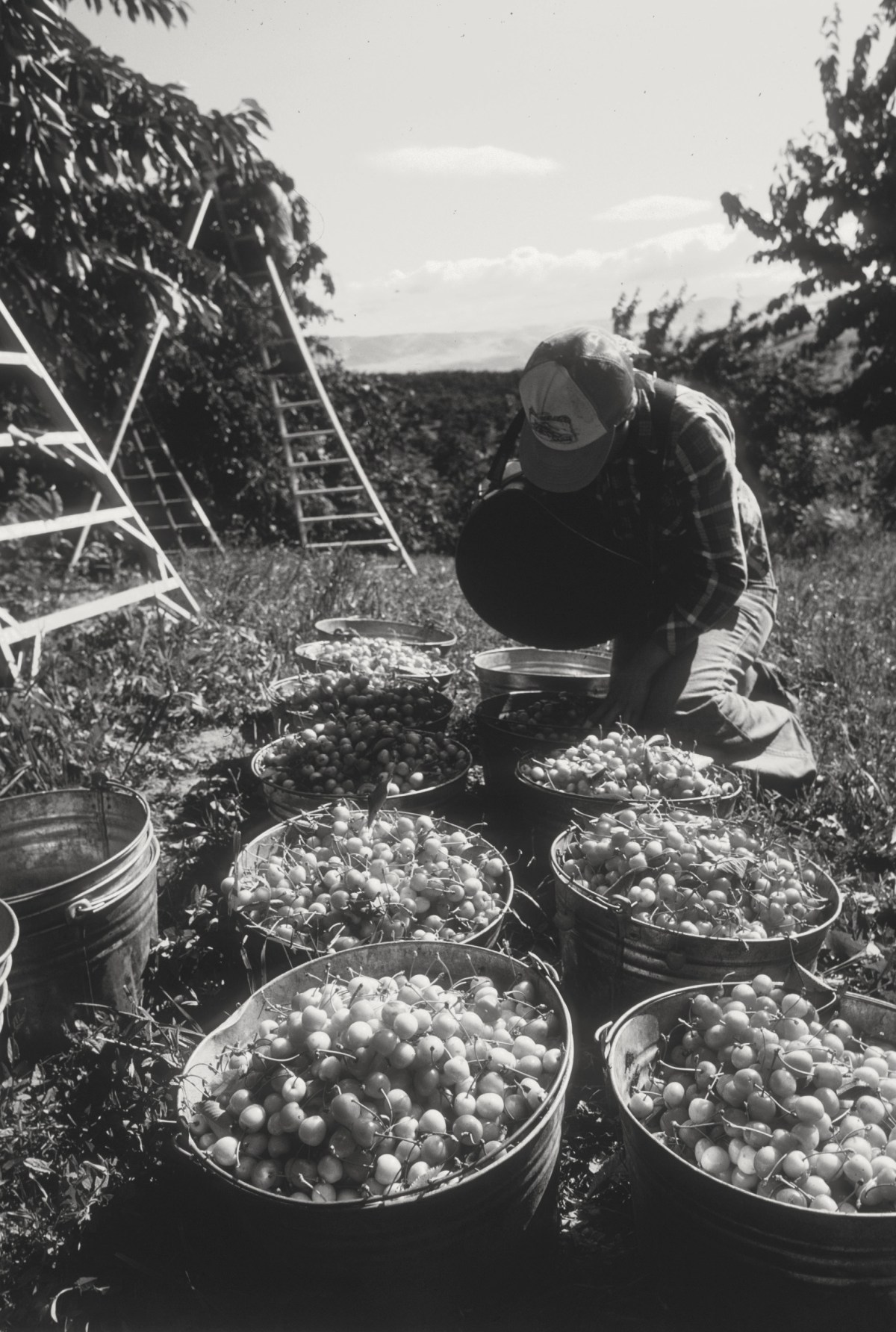 Cherry picking in The Dalles. (Photo courtesy EESC slide collection.)