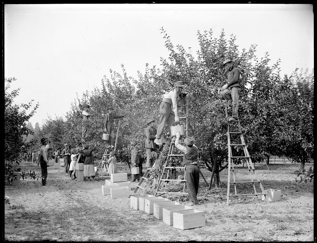 Apple pickers in the Sherman Orchard in Hood River Valley are seen in this undated photograph from the first half of the 20th Century. Men with buckets on ladders, women and children on ground. Empty boxes in foreground. Property rights reside with Special Collections & University Archives, University of Oregon Libraries. All requests for permission to publish collection materials must be submitted to Special Collections & University Archives.