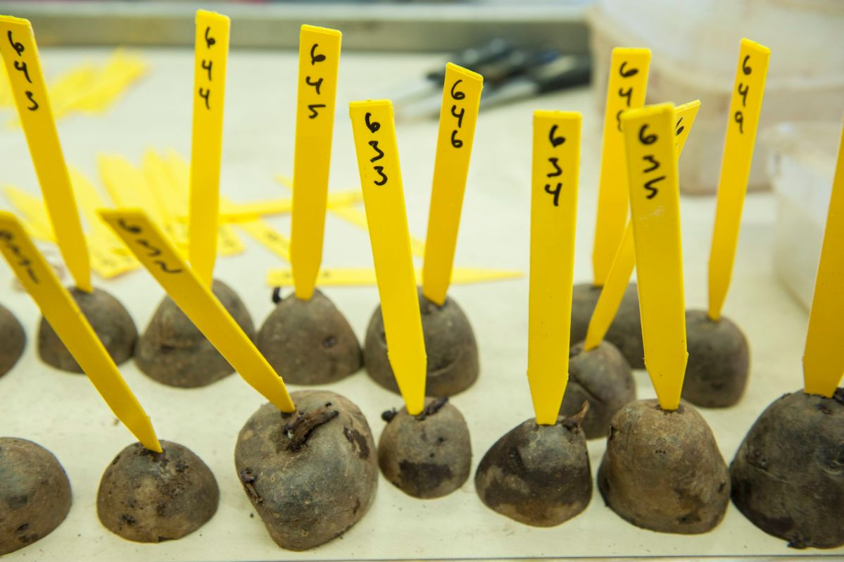 Labeled and coded research seed potatoes used in breeding new varieties at OSU Hermiston Agricultural Research and Extension Center