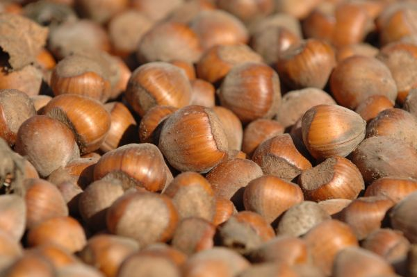Bringing Hazelnuts Back From the Brink: Chapter 2