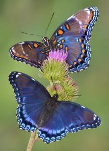 twee_vlinders_378