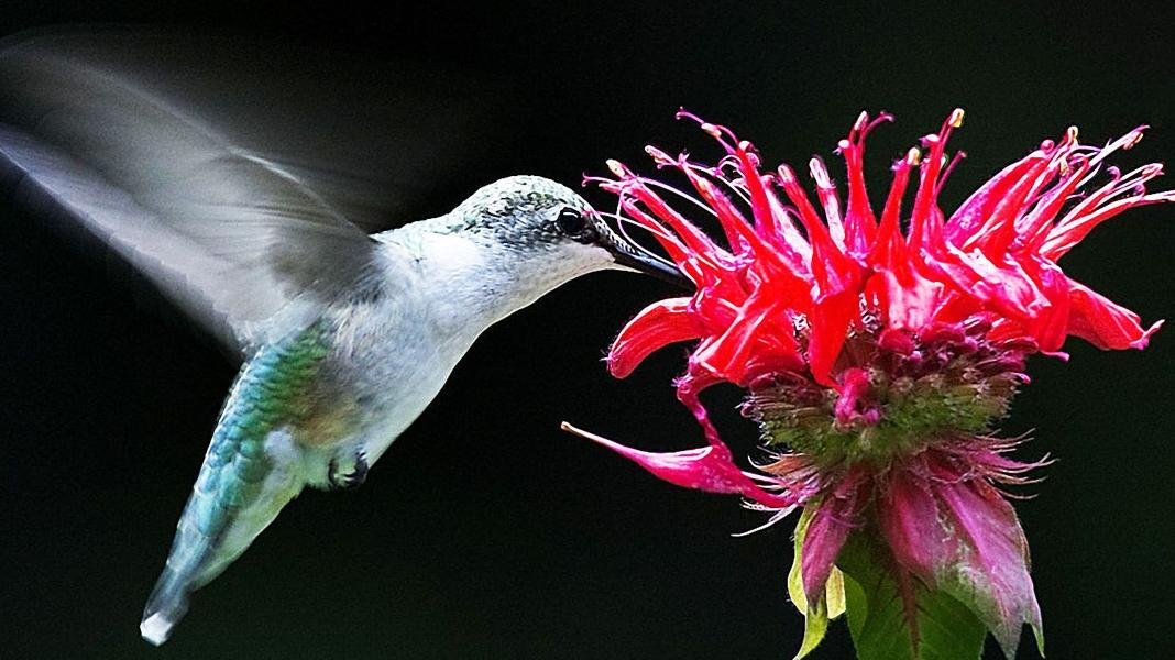 Photo Courtesy of: http://wallvan.com/hummingbird-with-flower-picture-hd.html