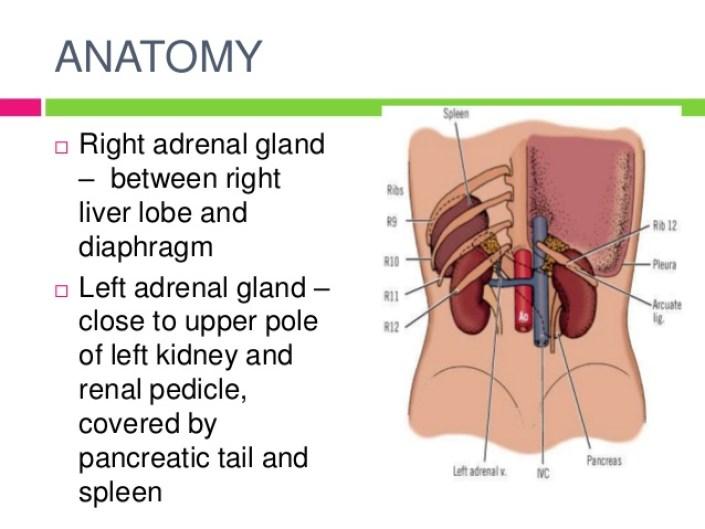 Anatomy adrenals