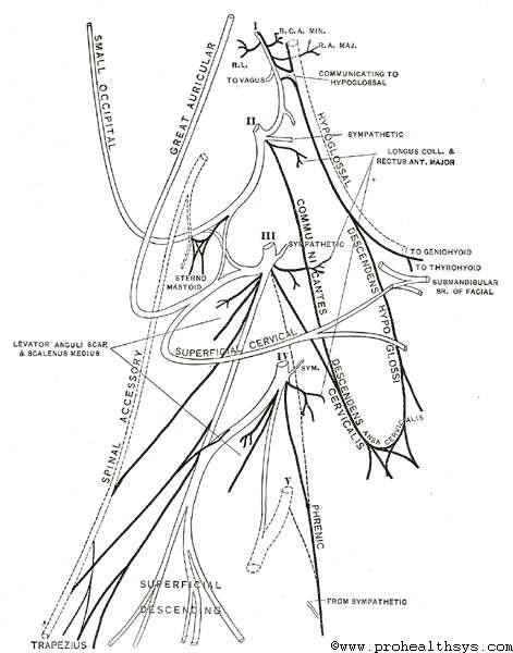 Cervical Plexus Spinal Nerves Cervical Plexus Brachial Plexus