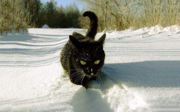 گربه در برف راه می رود