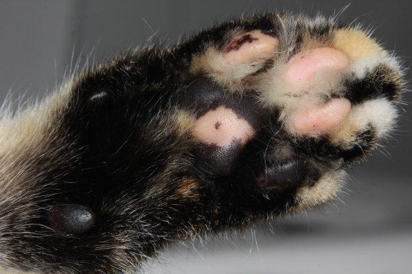 Kucing Paw.