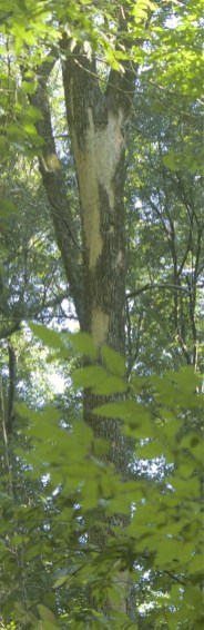 Suspected Ivorybill scaling on a hickory, 2013
