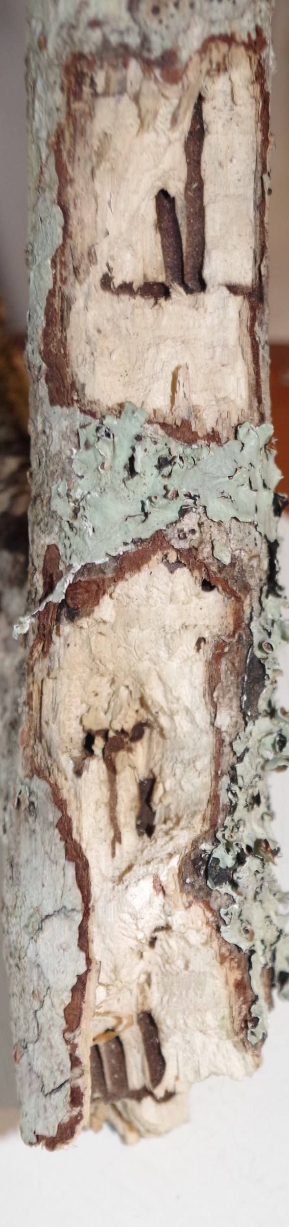 """Close-up of 2"""" diameter limb that apparently broke off while being fed upon"""